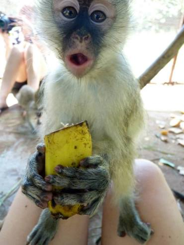 Baby Vervet monkey - They were so cheeky!